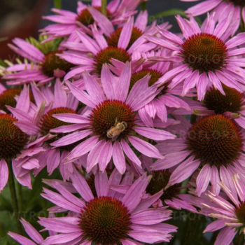 Echinacea ´FOUNTAIN LIGHT PURPLE´, kont. 1 l