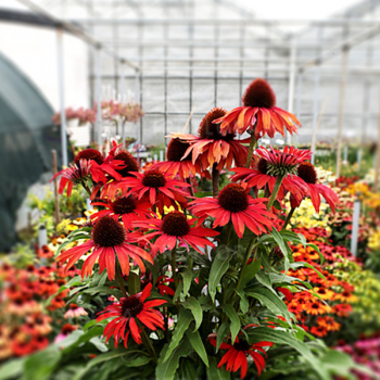 Echinacea hybridní ´FOUNTAIN RED´, kont. 1 l