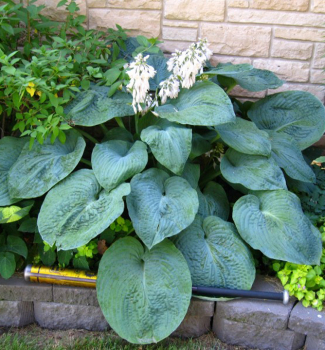 Hosta (bohyška) ´BIG DADDY´, kont. 1 l