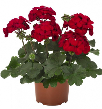 Pelargonie hybridní ´SARITA DARK RED´