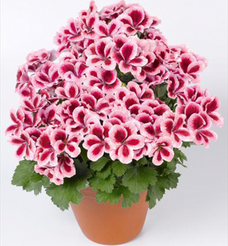 Pelargonie velkokvětá ´ARISTO ® STRAWBERRY CREAM´ 9ae4dac2379