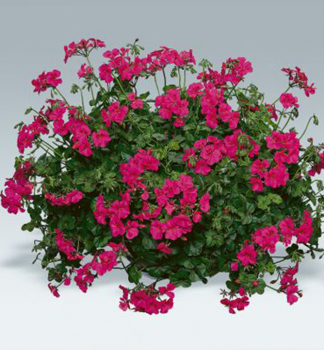 Pelargonie převislá ´HAPPY FACE®PURPLE´ f3f363be0fe