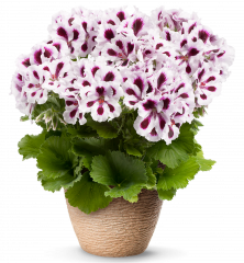 Pelargonie velkokvětá ´ARISTO ® PURPLE STRIPES´ a1b76230754