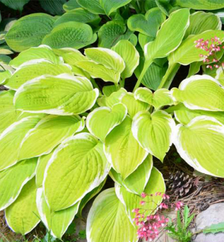 Hosta (Bohyška) ´AMERICAN DREAM´, kont. 1 l