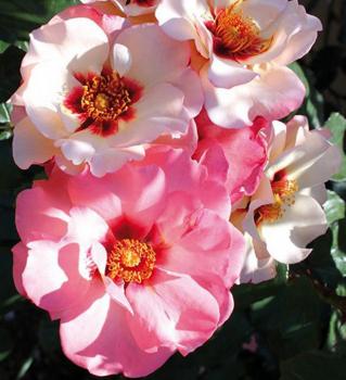 Jantarová růže historie